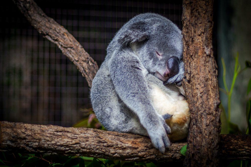 koala sleeping in the tree